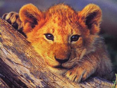 Mantenere il coraggio nei momenti difficili formazione for Sfondi leone